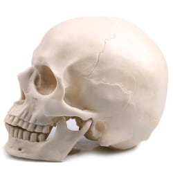 Human Skull White Resin Model Medical Halloween Realistic 1:1 S One Size