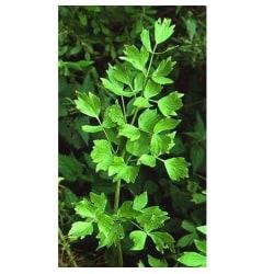Libbsticka 50 st frön Grön