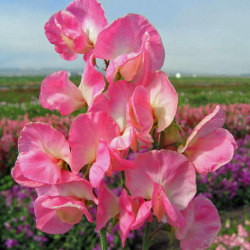 Luktärt Mammoth Rose Pink 10 st frön