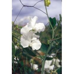 Luktärt ´Spencer Swan Lake´ 5 st frön Vit