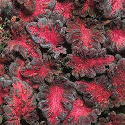 Palettblad ´Black Dragon´ 10 st frön Svart