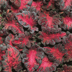 Palettblad ´Black Dragon´ 5 st frön Svart
