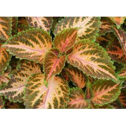 Palettblad Wizard Coral Sunrise 20 st frön
