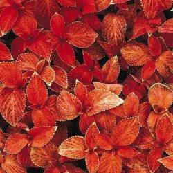 Palettblad ´Wizard Sunset´ 5 st frön Röd