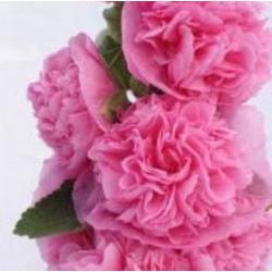 Stockros ´Chater´s Rose´ 10 st frön Rosa