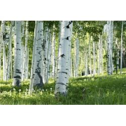 Fototapet Björkskog om sommaren 250x186cm