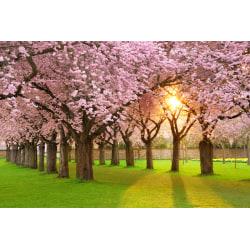 Fototapet Cherry Tree Garden