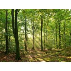 Fototapet Grön skog  400x260cm