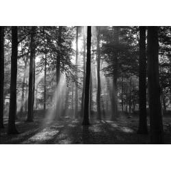 Skog i morgonljus 250x186cm
