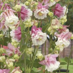 AklejaPink Petticoat 50 frön
