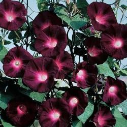 Blomma för dagnen Kniolas Black cirka 30 frön (vi väger)