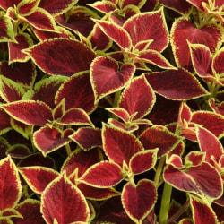 Palettblad Premium Sun Crimson Gold 5 frön