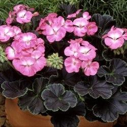 Pelargon Black Velvet Rose  F1 5 frö
