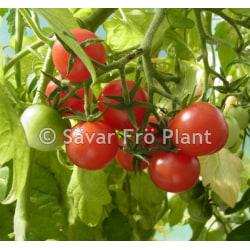 Tomat Gartenfreude(gardeners delight) 15 frö