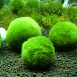 5CM Marimo Moss Ball Cladophora Live Aquarium Landscaping Plant  3(5CM)