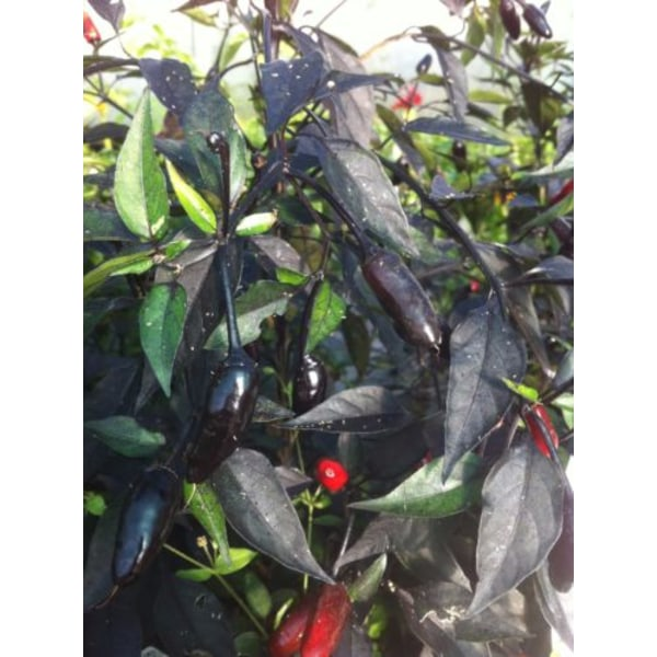 Chili Royal Black 5 st frön