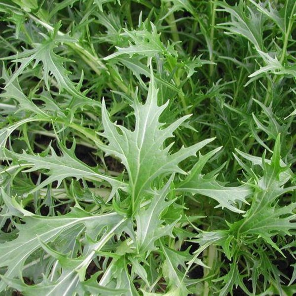Japansk Kål ´Mizuna´ 5 gram (ca 2000) frön Grön