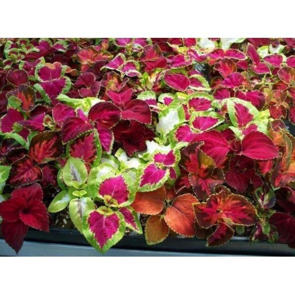 Palettblad ´Rainbow Mix´ 50 st frön multifärg