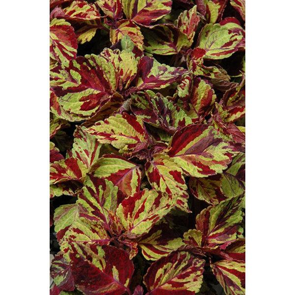 Palettblad Wizard Mosaic 5 st frön