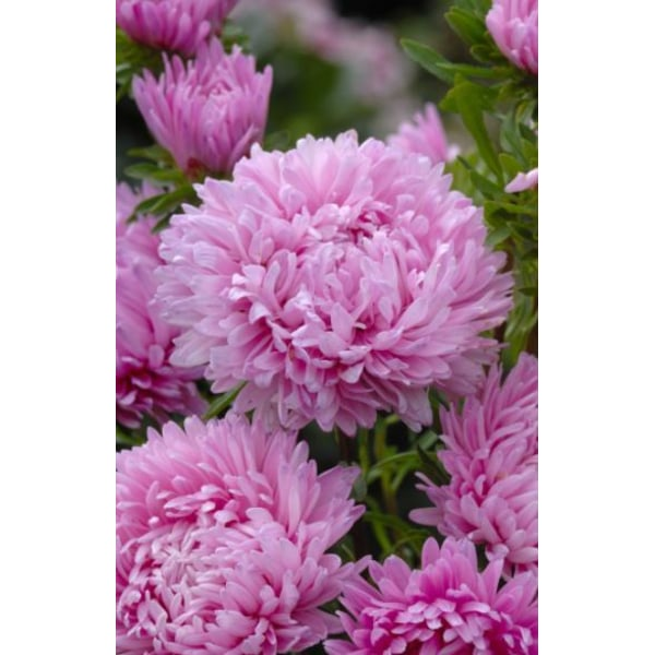 Sommaraster ´King Size Pink´ 50 st frön Rosa