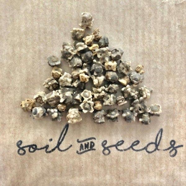 STORPACK Mangold ´Magenta Sunset´ 10 gram frön Rosa