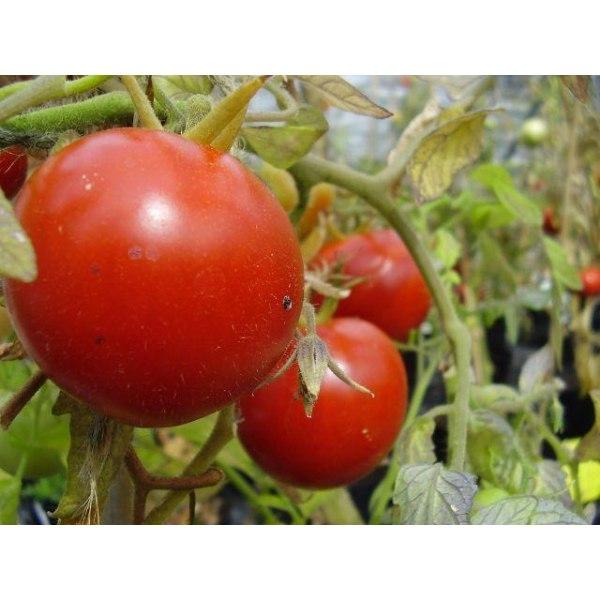 Tomat ´Heinz 1350´ 20 st frön Röd