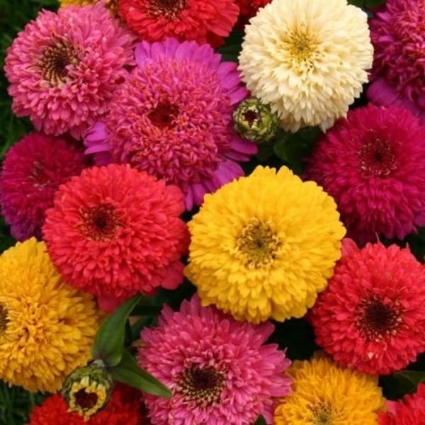 Zinnia ´Dahlia Mix´ 50 st frön multifärg