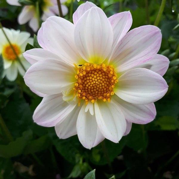 Dahlia Mignon White 30 frö