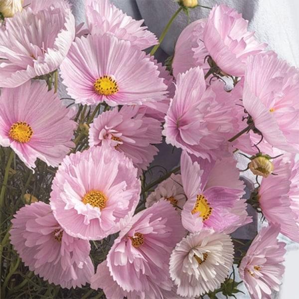 Rosenskära Cupcake Blush 8 frön