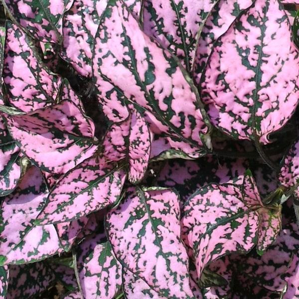"""Rosenstänk  """"Confetti Pink"""" 10 frö"""