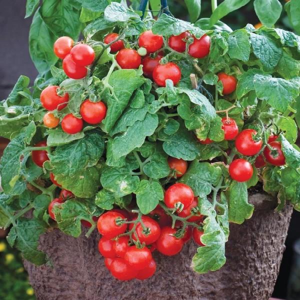 Tomat Tiny Tim 20 frö,prisvärd busktomat