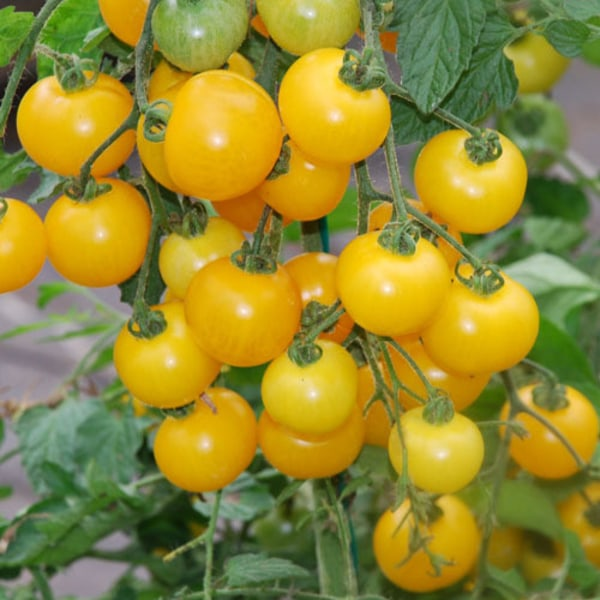 Tomat Tumbling Tom Yellow 4 frö