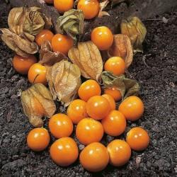Kapkrusbär (Inkabär/Physalis) 10 st frön Gul
