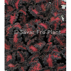 "Palettblad ""Black Dragon"" 15 frön"