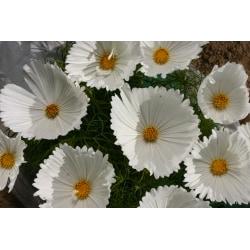 Rosenskära Cupcake White 8 frön