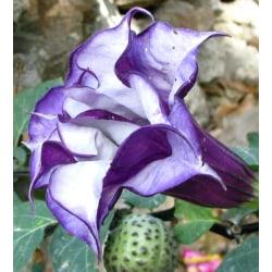 Spikklubba/Änglatrumpet Dubbel Purple 5 frön