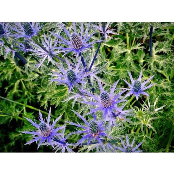 Martorn Blue Glitter 10 frö