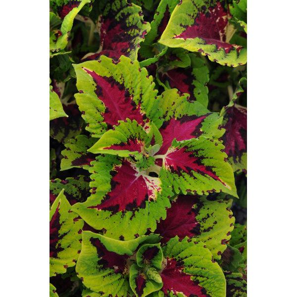 Palettblad Kong Rose 5 frön