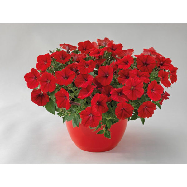 Petunia Success Red 5 frö